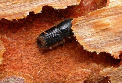 Ips Beetle Facts: Identification and Treatment Methods